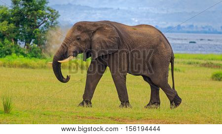 African Bush Elephant Puffing the Soil near Delta Point