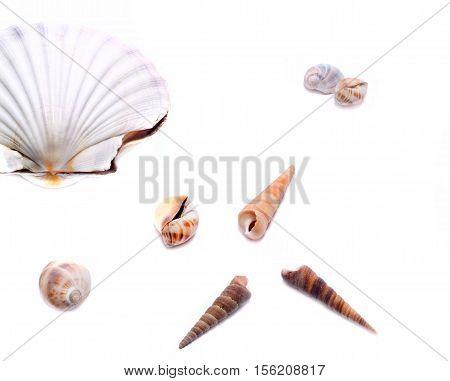 Shells on the white, scallop sea shells, background, scallop Shell, white shell on black, white shell, Marine Seashell, molluscs