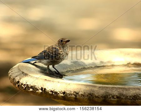 Bluebird standing in birdbath about to take a drink of water.