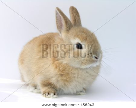 Cute Ginger Rabbit