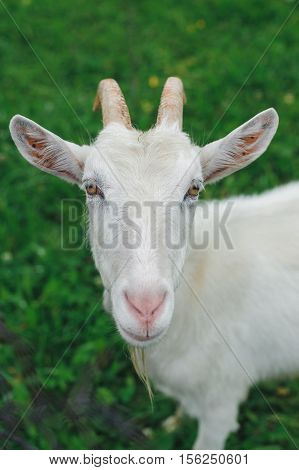 White goat on lawn looking in camera
