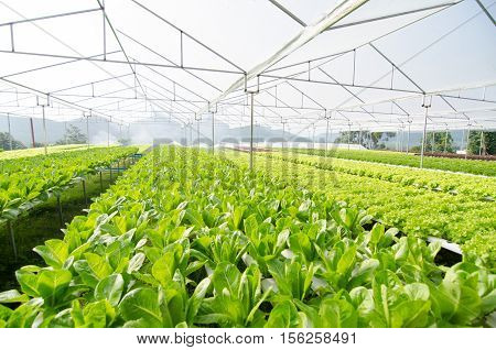 Hydroponic vegetables growing in greenhouse ,Thailand, cos lettuce