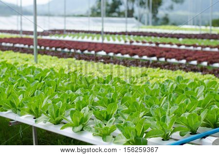Hydroponic vegetables growing in greenhouse, cos lettuce