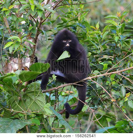 Black Bande Langur