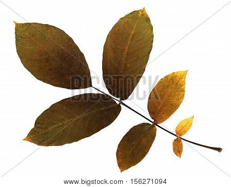 Pressed and dried leaf of walnut (Juglans regia) on white background for use in scrapbooking floristry (oshibana) or herbarium.