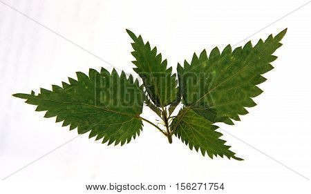 Pressed and dried leaves of stinging nettle (Urtica dioica) on stem with leaves isolated on white background for use in scrapbooking floristry (oshibana) or herbarium.