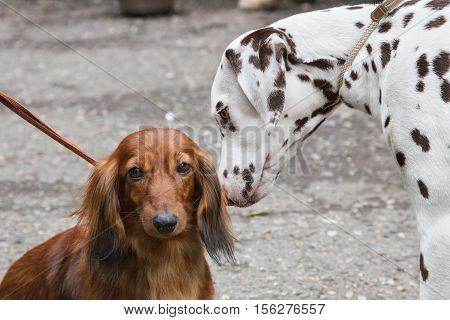 Dalmatians sniffing dachshund for a walk .