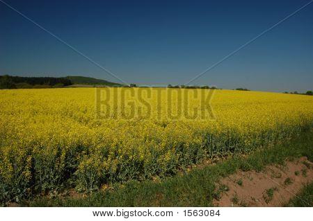 Yellow Fields Of Grain