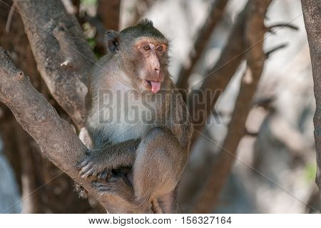 Macaque monkey sticking out his tongue n the jungle of Sam Roi Yot National Park south of Hua Hin in Thailand