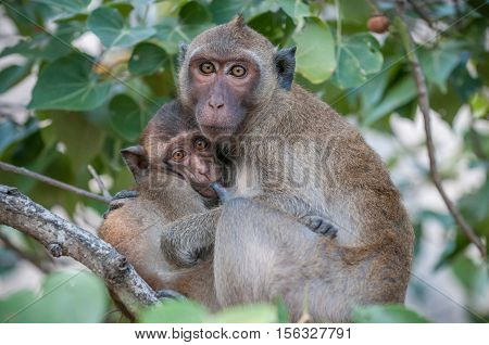 Macaque monkey mother feeding baby in the jungle of Sam Roi Yot National Park south of Hua Hin in Thailand