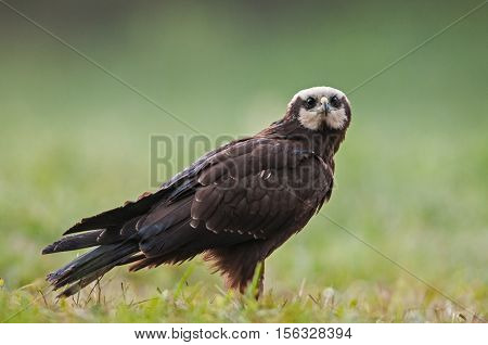 Female of Marsh Harrier (Circus aeruginosus) on a summer meadow.PolandBory Tucholskie National Park.Close horizontal view with shallow depth of field.