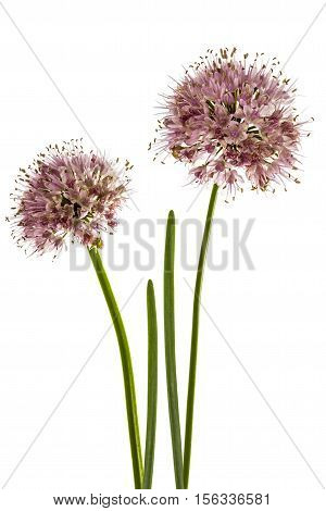 Inflorescence of decorative onion ornamental allium flowers isolated on white background