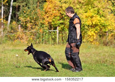 Man is dog trainer and doberman pinscher catching ball on grass on autumn day