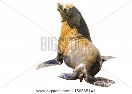 California sea lion, Zalophus californianus, isolated on white background in Baja California, Mexico. Side wiew.