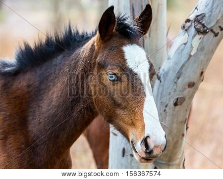 The mustang is a free-roaming horse of  Mexico that descended from horses brought to the Americas by the Spanish. Mustangs are referred to as wild horses, they are properly defined as feral horses.