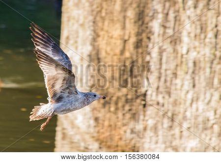 Close up shot of flying  ring-billed gull (Larus delawarensis)