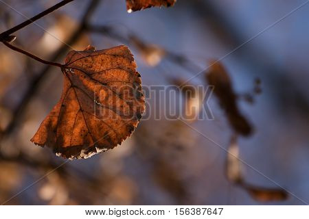 Autumn leaf on a linden tree shining in red brown gainst a blurred blue background selected focus narrow depth of field can be used as a seasonal nature greeting card or concept of changing times