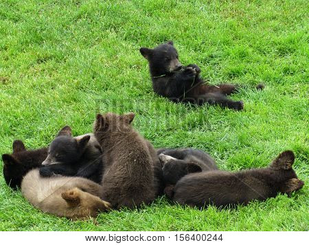 Adorable Baby Brown Bears playing in the grass