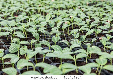Young Green Pumpkin Seedling In Seedling Tray