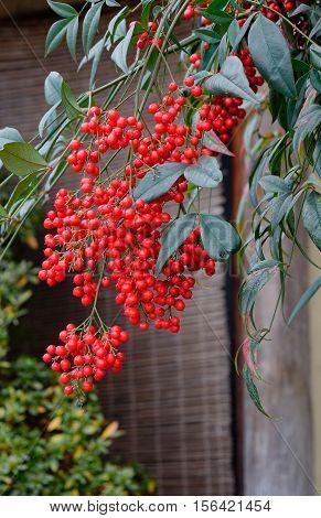 Guelder-rose Fruits In The Autumn Garden
