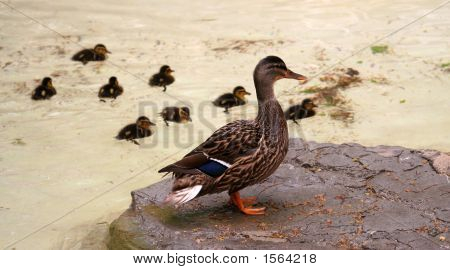 Duck (Female Mallard) With Its Eight Ducklings