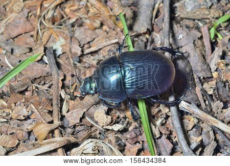 A close up of the dung-beetle. Russian  Far-East.
