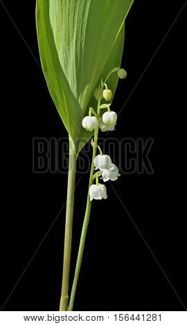 A close up of the lily-of-the-valley (Convallaria keiskei). Isolated on black.