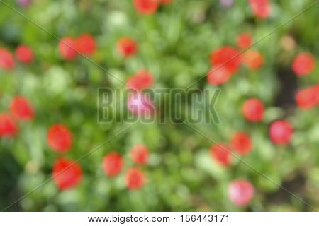 The blurred background with red flowers. Summer.
