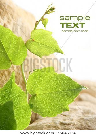 leaf grape vines