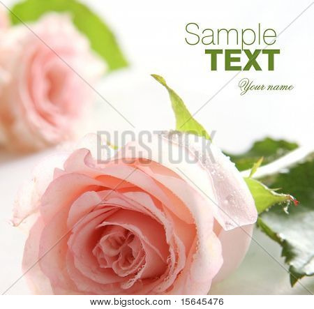 Macro rose (easy to remove the text)
