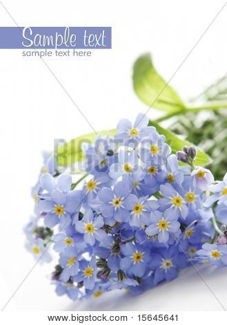 blue forget-me-not on white