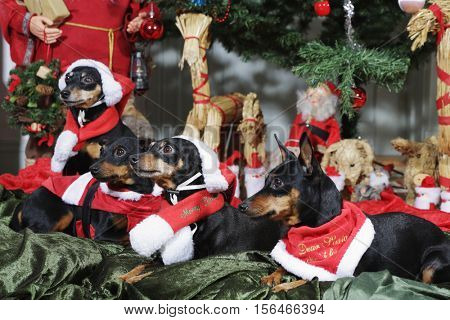small dogs, miniature-pinschers dressed as father-christmas with greetings