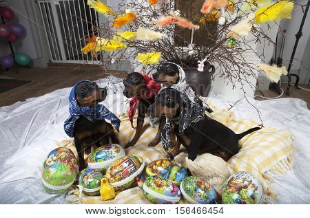 small dogs, new-year greetingsd with miniature-pinschers