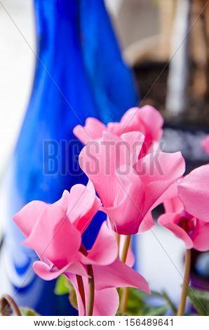Pink Cyclamen Flowers