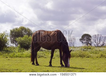 Horse brown color. Domestic animal horse grazes on pasture. Summer rural landscape with herd horse in meadow under cloudy blue sky on village