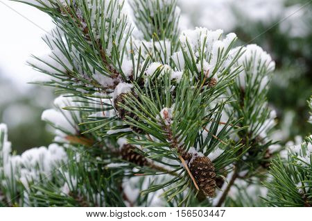 some pinecone in the three with snow in the winter
