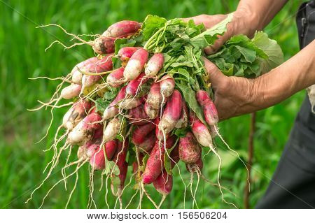 Radish in hand. Hands gardener. Work-worn hands. Farmers hands with freshly radish. Freshly picked vegetables. Unwashed radishes with tops