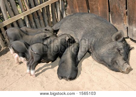 Piglets And Mother