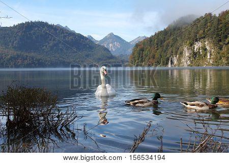White swan / White swan floating on the lake.
