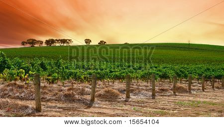 Scenic Vineyard at Sunset