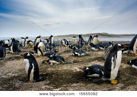 Gentoo Penguin Colony on Sea Lion Island
