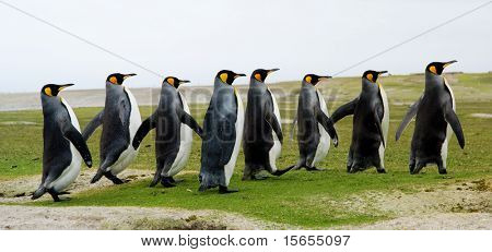 8 King Penguins zu Fuß in einer Linie