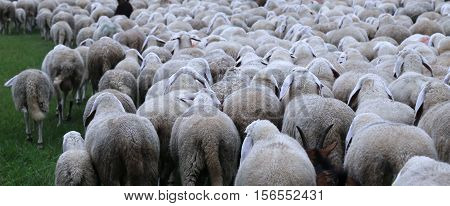 Many Sheep In Winter During The Transhumance