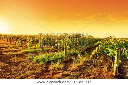 A vineyard in South Australia