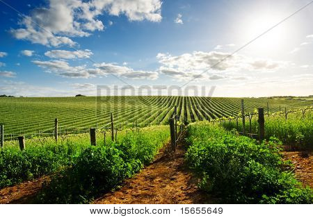 Barossa Valley vineyard in the spring