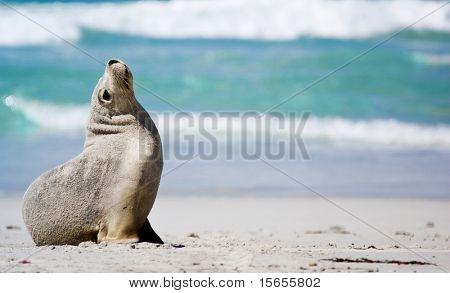 Lonely Seal at Seal Bay, Kangaroo Island