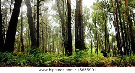 Forest in the Grampians
