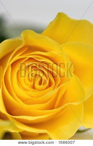 Single Stunning Yellow Rose