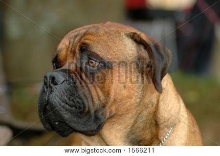 Bullmastiff Dog