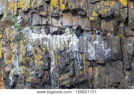 Shags (phalacrocorax Aristotelis)